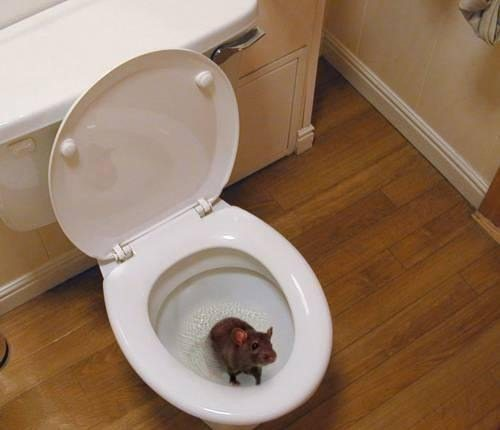 Реальная опасность попадания крыс в дом.